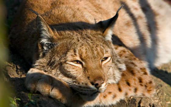рысь, отдыхе, греется, солнце, bored, дерево, are, солнечного, блике, animals, света,