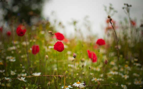 summer, цветы, ромашки