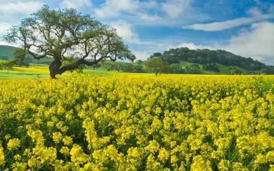 поле, цветы, mustard