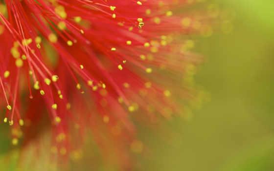 mimosa, red, fondos, flowers, desktop, pantalla, gratis,