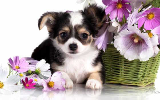 собака, чихуахуа, аккаунт, repin, утра, доброго, cute,