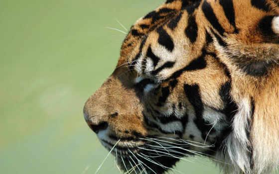 тигр, тигра