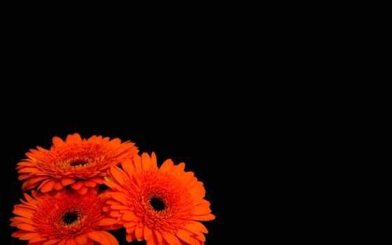герберы, цветы, черный