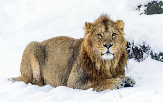 lion, lions, снег