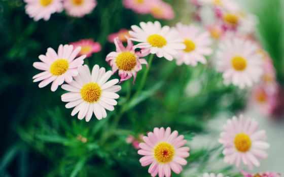 ромашки, цветы, desktop