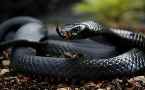 snake, самая, ядовитая, мире, распространённа, другие, опасные, азия, length, south,