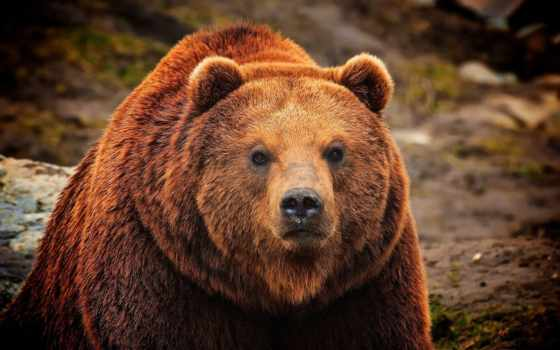 медведь, бурый, природа