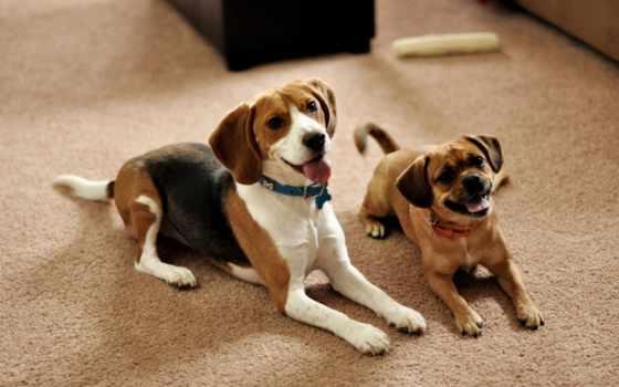 собак, породы, hound