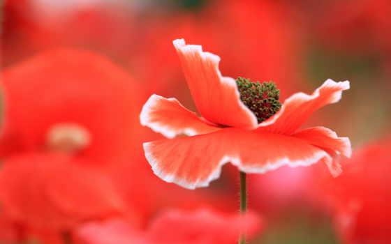 цветы, red, poppy, cvety, макро, are, маки, яркие, credit, мака,