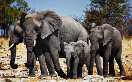 слон, free, high, фон, definition, desktop, добраться,