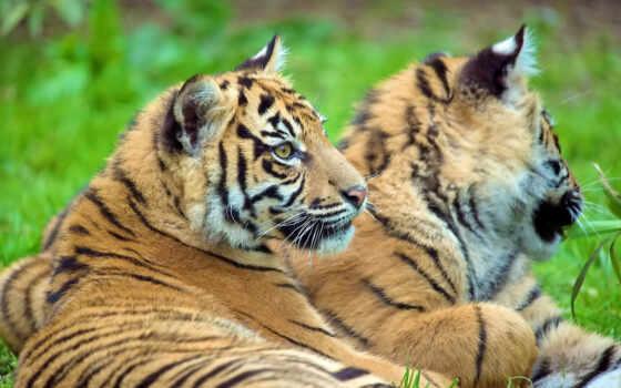 тигр, смотрит