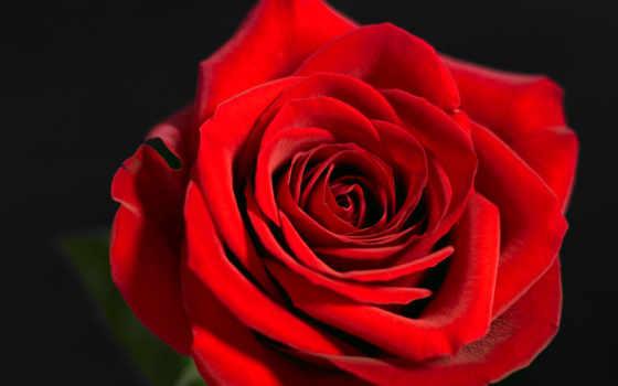 роза, цветы, красная