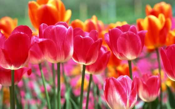 martha, тюльпаны, весна