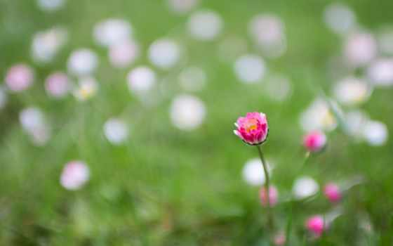 flowers, тюльпан,