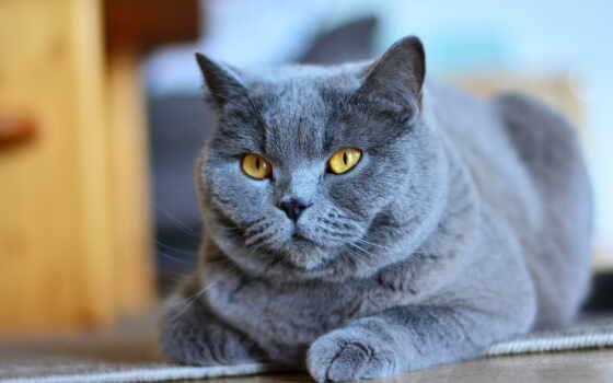 кот, blue, russian, cute, порода, котенок, средний