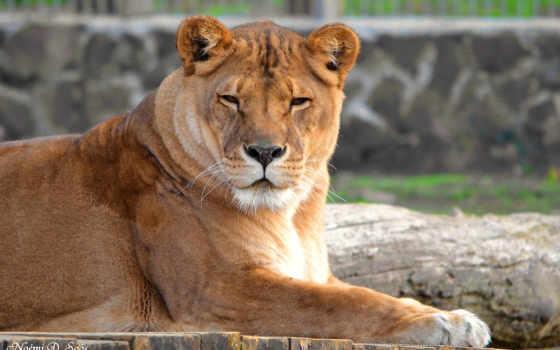animals, lions, lion