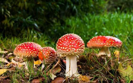 грибы, мухомор, приложение
