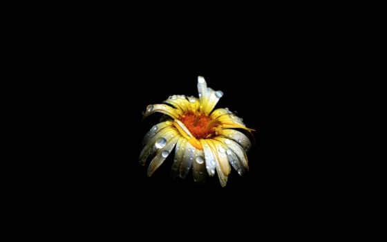 цветы, черном, fone, ромашки, широкоформатные, цветные, желтые, разных, разрешениях, роса,