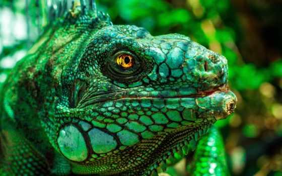 iguana, ящер, free