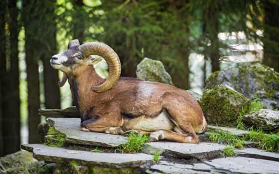 sheep, bighorn, изображение, zhivotnye, ram, код, desktop, animal,
