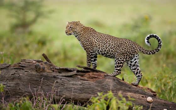 леопард, леопарды, коллекция