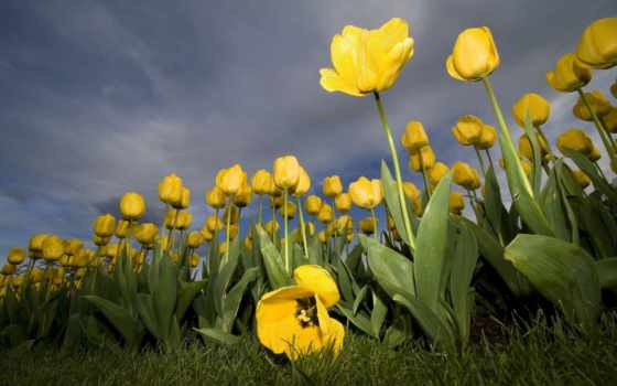тюльпаны, желтые, цветы, fone, неба,