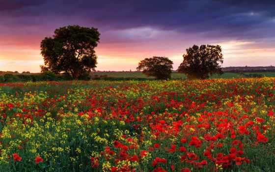 природа, summer, поле, cvety, маки, вечер, великобритания, рапс,