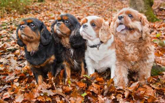 собака, permission, forward, spaniel, картинка, увеличить, receive, viewing