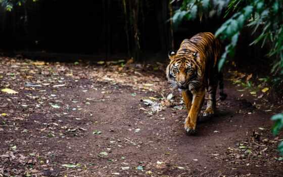 тигр, zoo, фон, качество