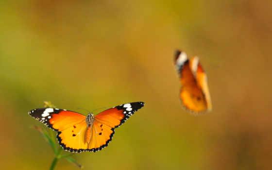 оранжевые бабочки в полёте