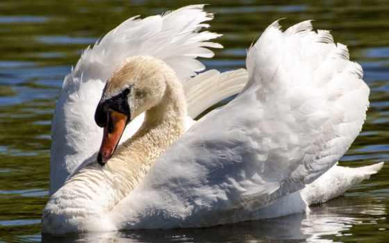 белый лебедь Фон № 45716 разрешение 1920x1200