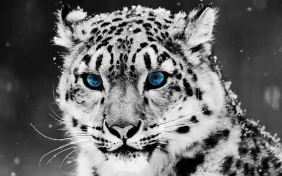 леопард, снег, глаз