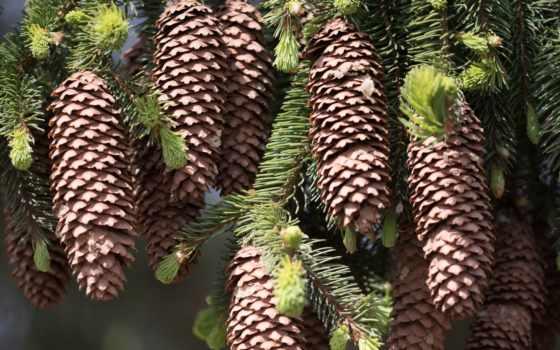 , шишки, елка, ветки, лес,