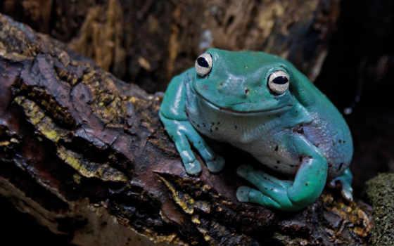 квакша, яndex, коралловая, irene, квакши, toad, blue,