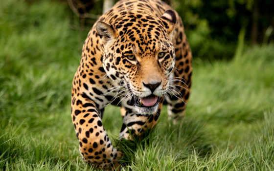 кот, миро, fast, большой, wild, леопард