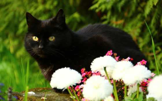 кот, black, взгляд, cvety
