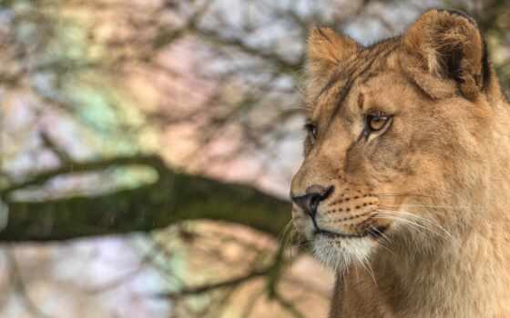 lion, animal, львица, дерево, cover, see, глаза, кот, stare, смотреть