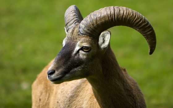 изгиб, рога, козел