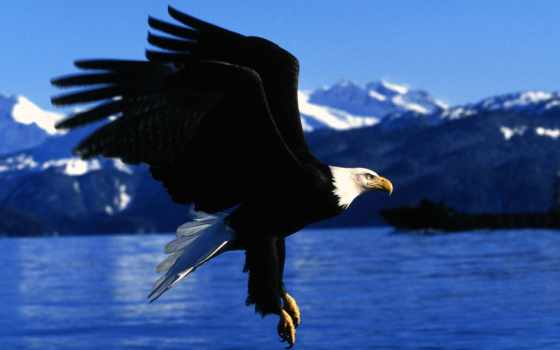 красивые, орлов, орлан, орлы, птицы, золотистый, berkut, камень, девушка,