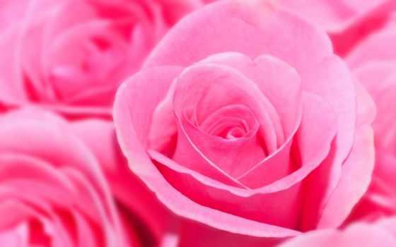 розы, розовые, цветы, букет,