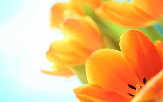 цветы, оранжевый, тюльпан, makryi, red