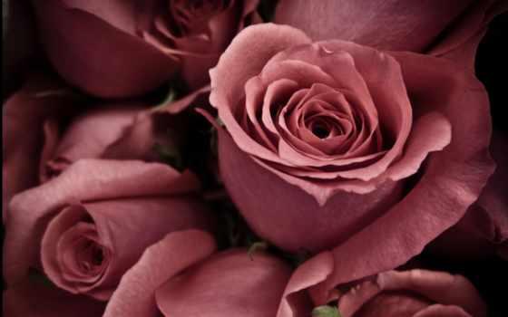 розы, старой, роза, цветов, часть,