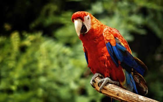 macaw, дек, птица