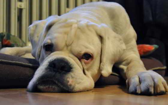 boxer, смотреть, собака