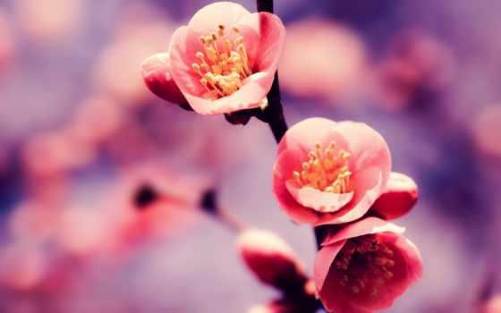 цветы, cvety, лепестки, яблони, rub,