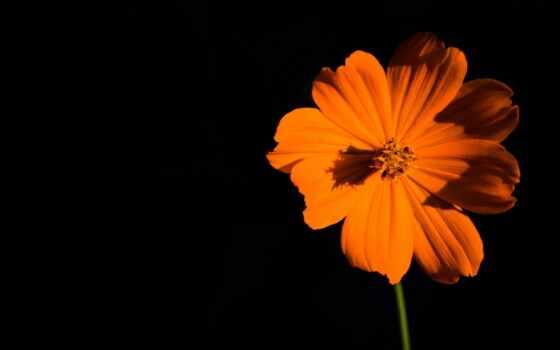 цветы, оранжевый, iphone, desktop, fl, розовый, свет,