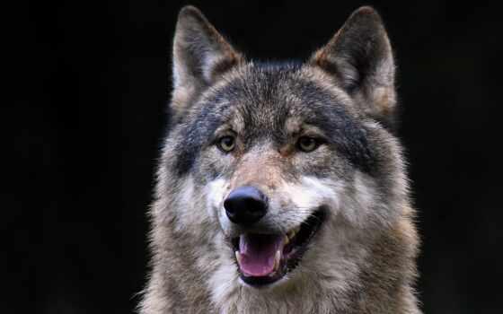 animal, морда, волк, смотреть, глаза, взгляд, хищник, stokovyi, million