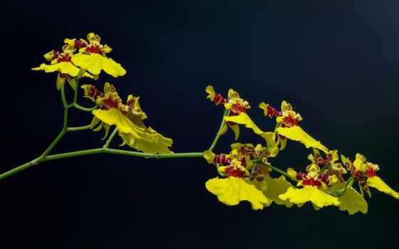 flor, orquidea, orquídea, oro, planta, negro, fondo, public, floreciente, domain, l-men