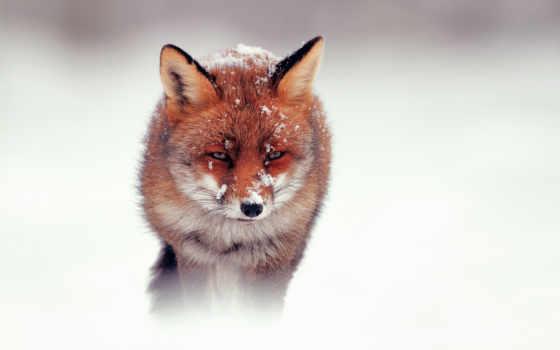 фокс, снег, winter