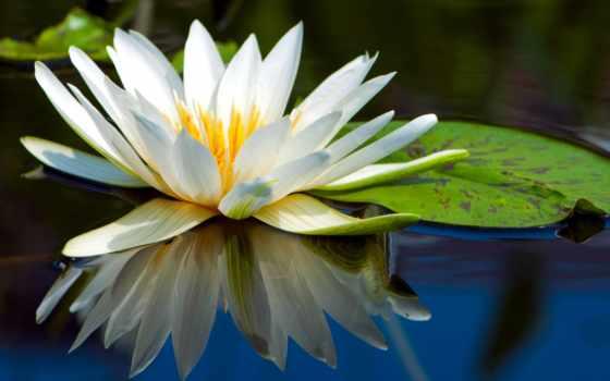 lotus, цветы, water, лист, browse, white,